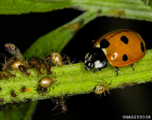 Thumbnail image for Lady Beetles