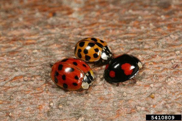 Various forms of multicolored Asian lady beetles.