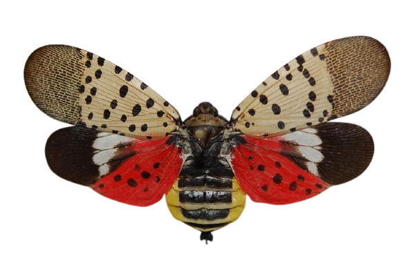 Adult spotted lanternfly with wings spread showing red hind wing