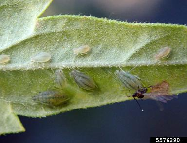 Female aphids on leaf and male winged aphid mating with female