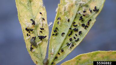 Dark brown to black cannabis aphid eggs on a hemp leaf.