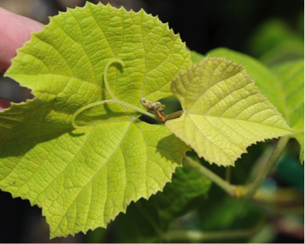 General chlorosis on new growth of grape.