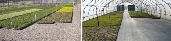 Fig 8. Keep propagation areas weed free to avoid infesting crops