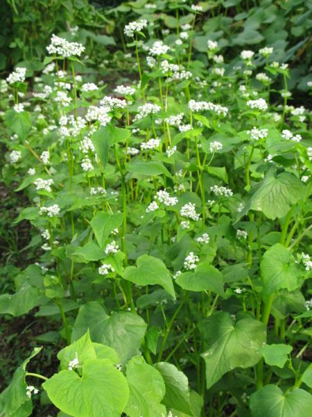 A photo of buckwheat growing as a cover crop.
