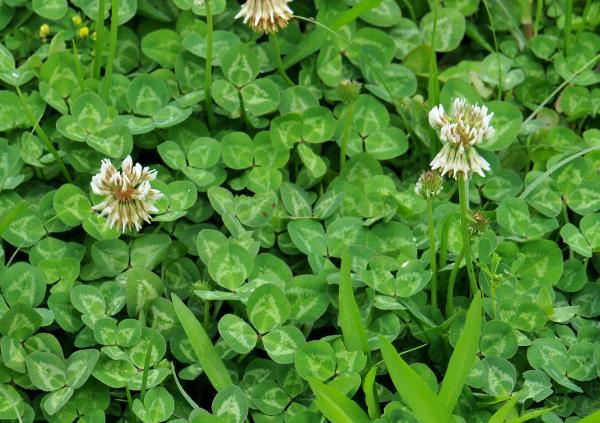 9 lawns nc state extension publications white clover mightylinksfo