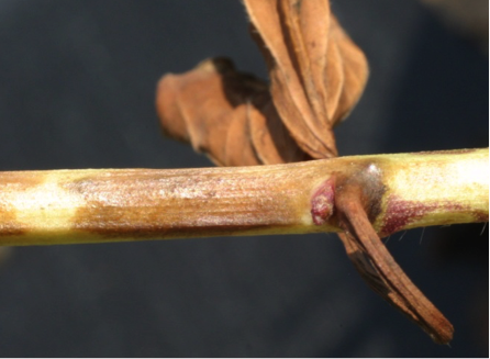 Diquat spray drift on sweet potato stem, 2 weeks after treatment