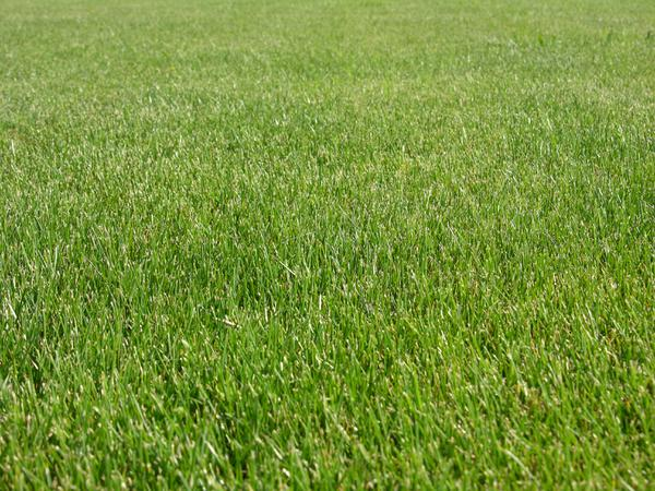 A photo of perennial ryegrass turf.