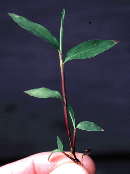 Figure 2. Note the relatively short, broad leaves on Japanese st