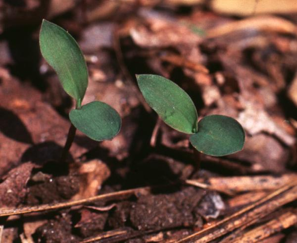 Figure 3. Japanese stiltgrass seedlings, with distinctively roun