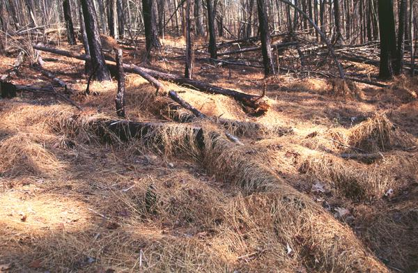 Figure 4. Dead, straw-colored stems persist through the winter.