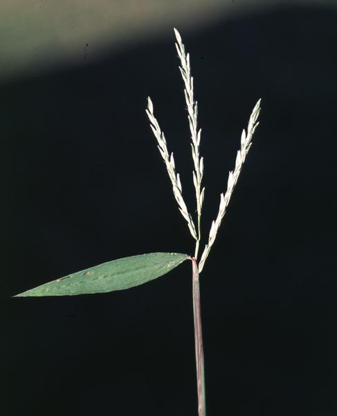 Figure 5. Japanese stiltgrass plants flower and seed in mid- to