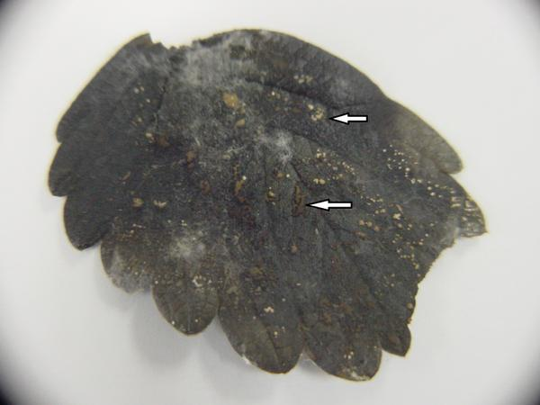 Anthracnose Ripe Fruit Rot - acervuli on leaf