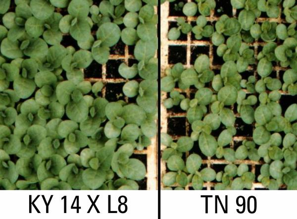 Thumbnail image for Cold Injury and Boron Deficiency in Tobacco Seedlings