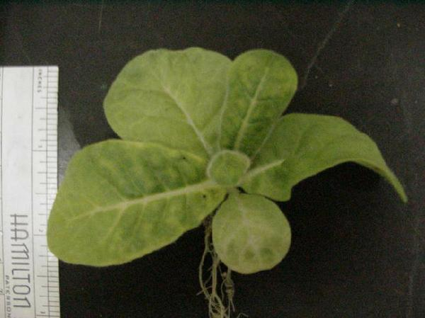 Photo of deformed leaf tips caused by boron deficiency.