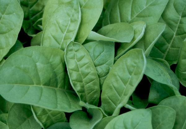Photo of leaf deformation caused by over-application of boron.