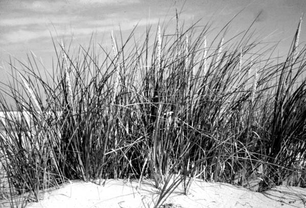 Thumbnail image for Restoration and Management of Coastal Dune Vegetation