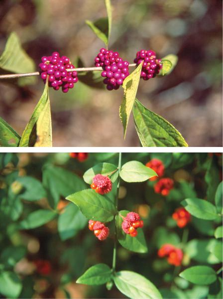 Landscaping for wildlife with native plants nc state extension native plants are attractive additions to any property both american beautyberry top and strawberry bush bottom produce fruits that are attractive to publicscrutiny Image collections