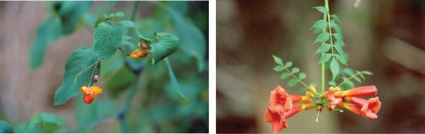 Figure 7. The presence of a variety of herbaceous (jewelweed, le