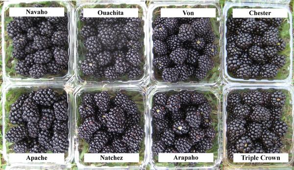 Figure 5. Blackberry fruit from thornless blackberry varieties.