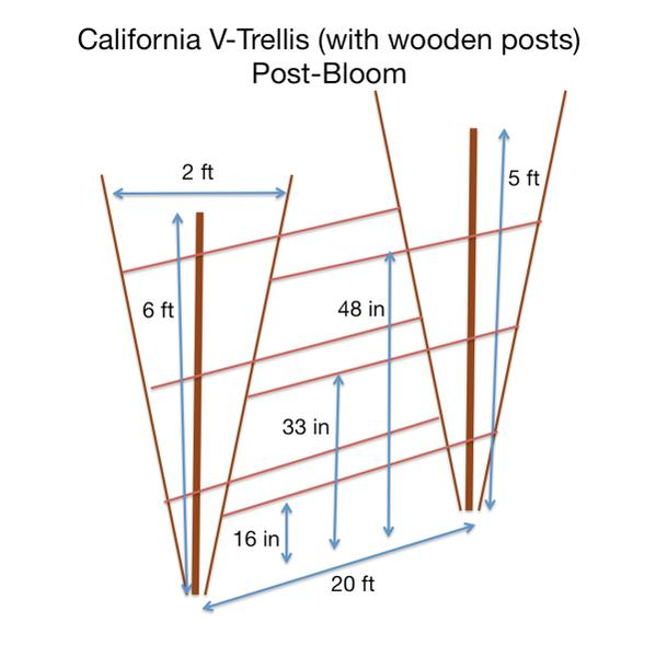 Figure 17b. California V-trellis (with wooden posts) Post-bloom.
