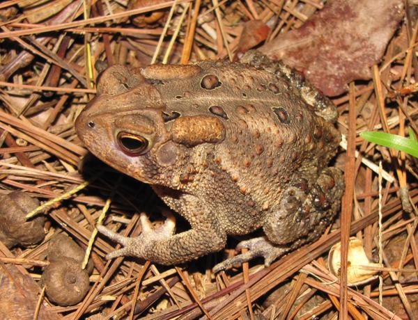 photo of American toad