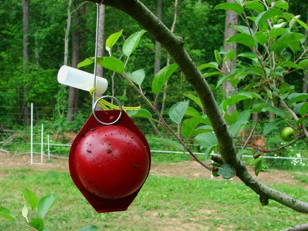 Apple maggot red ball trap with vial containing fruit essence (b