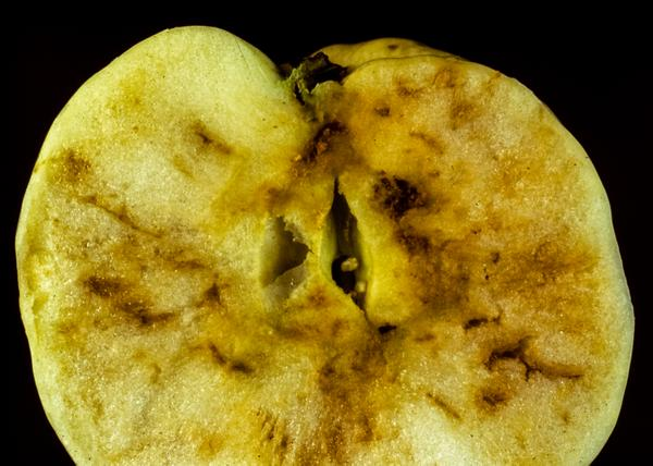 Apple maggot tunneling