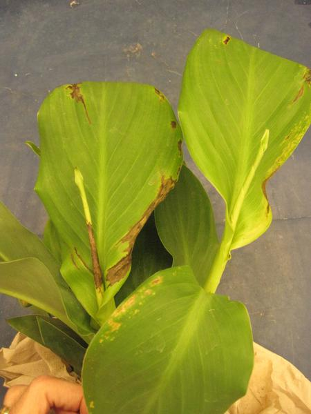 Canna lily with lesions caused by Acidovorax sp.
