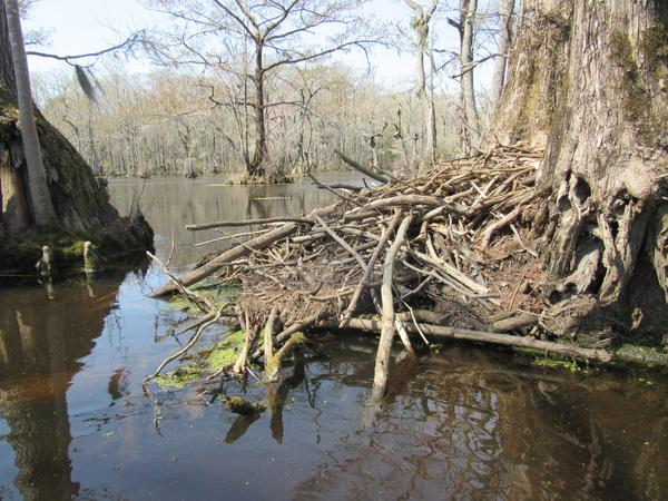 photo of beaver lodge on flooded swamp forest in winter