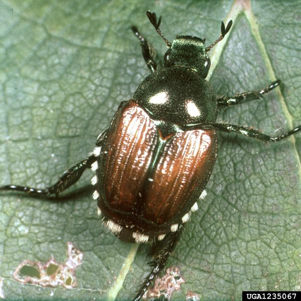 Thumbnail image for Japanese Beetles in North Carolina Grapes