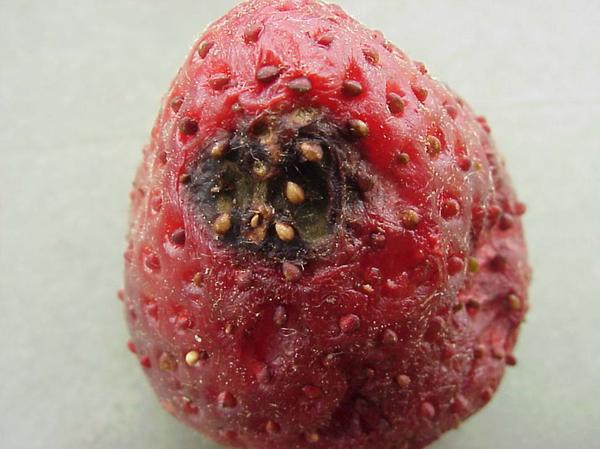 Alternaria Black Spot of Strawberry | NC State University