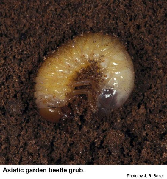 Asiatic Garden Beetle Nc State Extension Publications