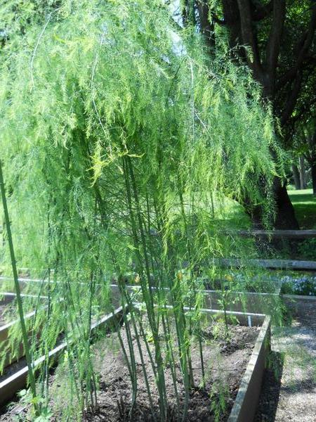 Thumbnail image for Growing Asparagus in a Home Garden