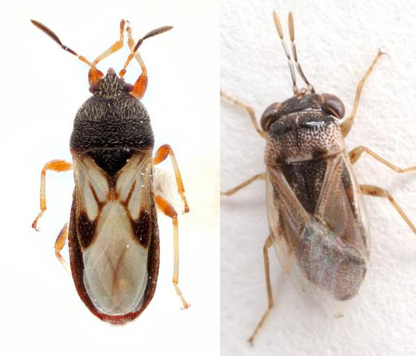 Figure 1. Chinch bug adult (left) vs big-eyed bug (right).
