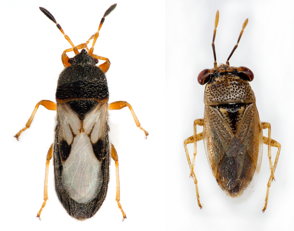 Figure 1. Chinch bug adult (left) vs big-eyed bug (right)