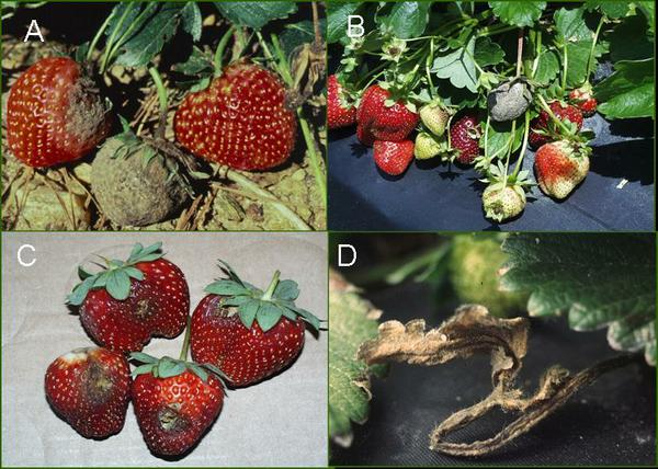 Botrytis Fruit Rot / Gray Mold on Strawberry   NC State ...