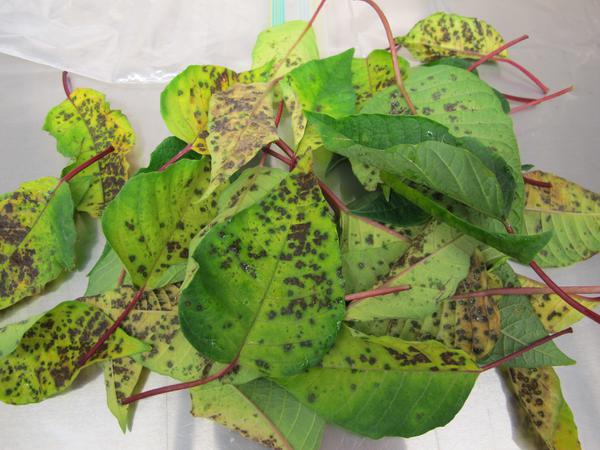 Leaf spot caused by Xanthomonas sp. on poinsettia.