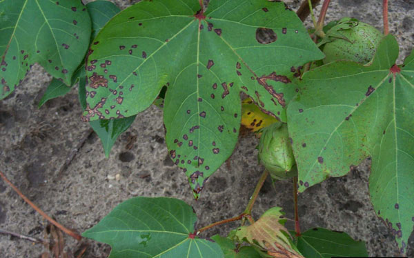 Thumbnail image for Bacterial Blight of Cotton