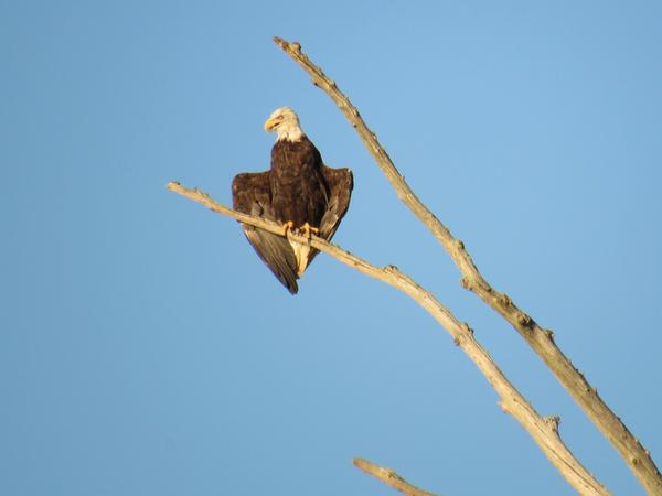 Photo of bald eagle on snag