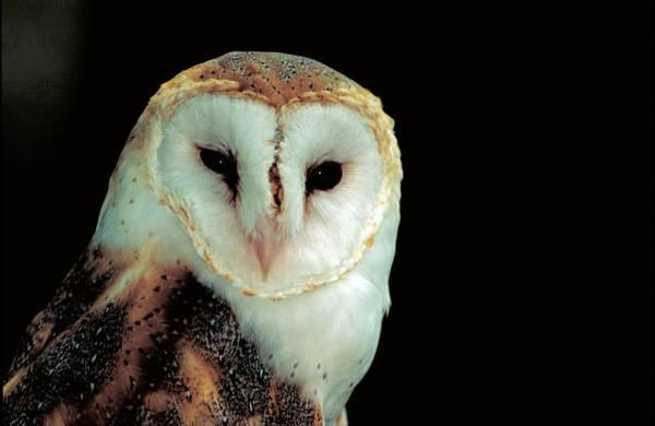 Photo of barn owl.