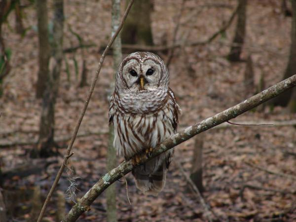Photo of barred owl.