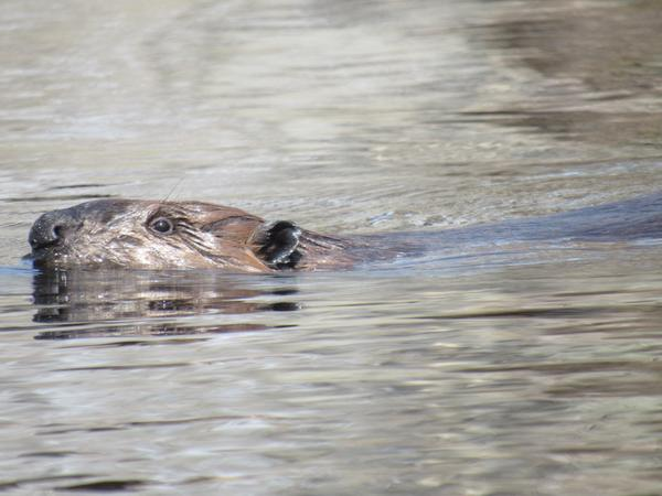 photo of beaver swimming toward lodge with only head visible