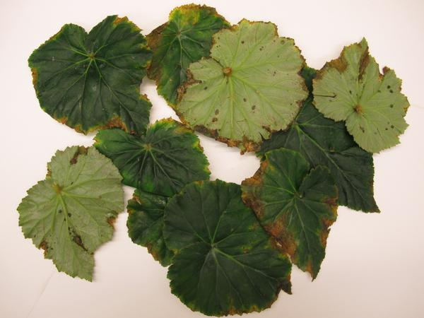 Bacterial leaf pot on begonia