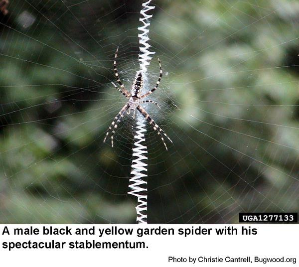 Black and Yellow Garden Spider male black and yellow garden spider nc state extension publications