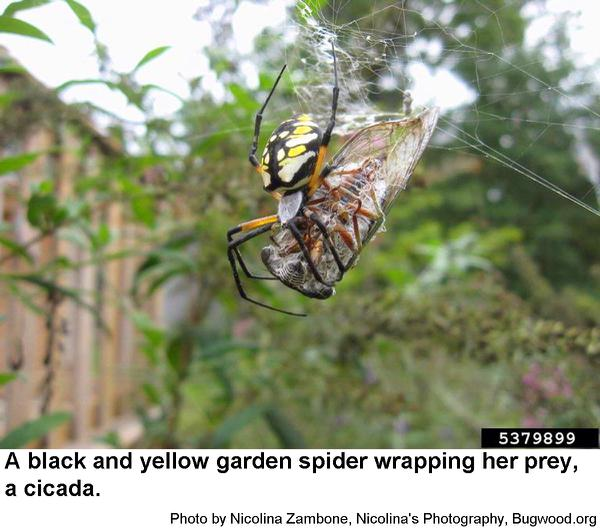 Black And Yellow Garden Spider Nc State Extension Publications