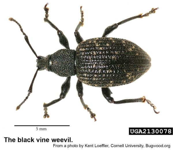 Thumbnail image for Black Vine Weevil