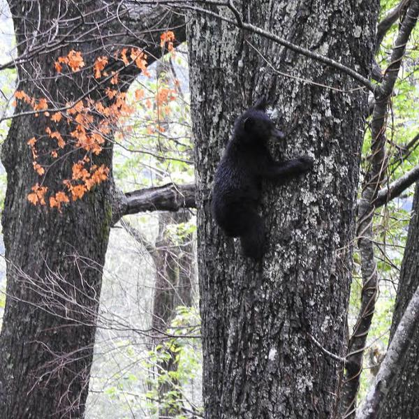 Photo of black bear climbing a tall tree