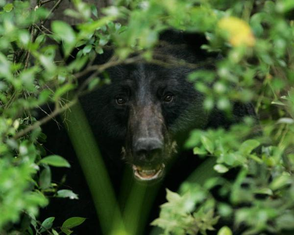 Photo of black bear in heavy cover