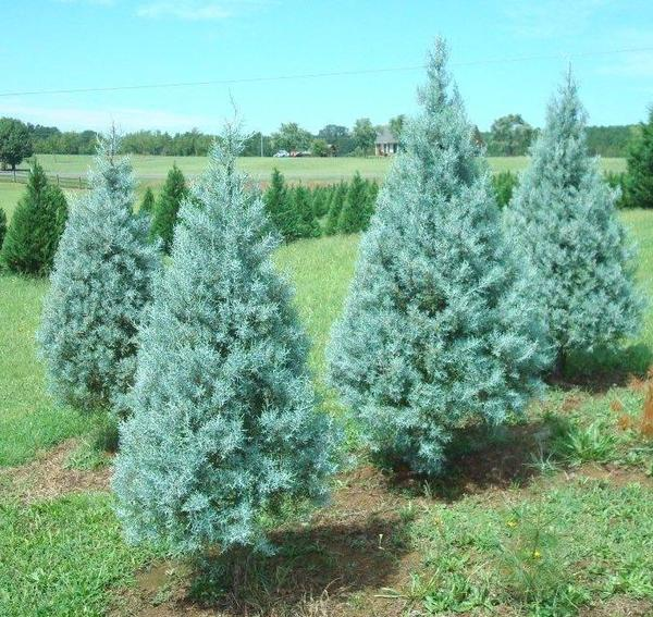 Arizona cypress 'Blue Ice'