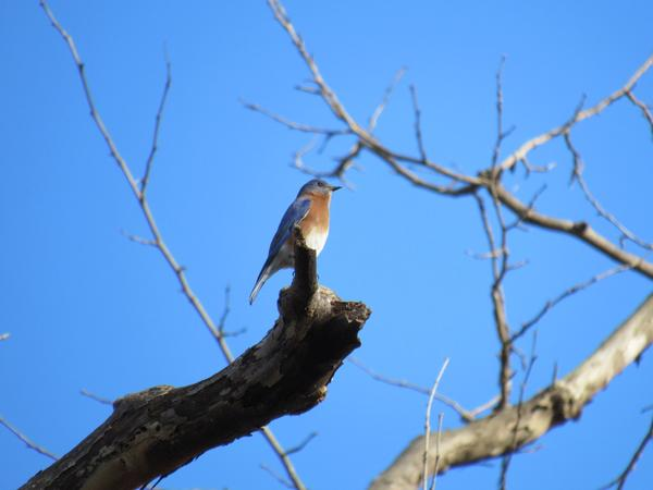 Photo of bluebird on a snag.